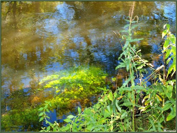 Verdure, mousse aquatique et reflets en bordure de La Leyre, Sentier du Littoral au lieu-dit Lamothe, Le Teich, Bassin d'Arcachon (33)