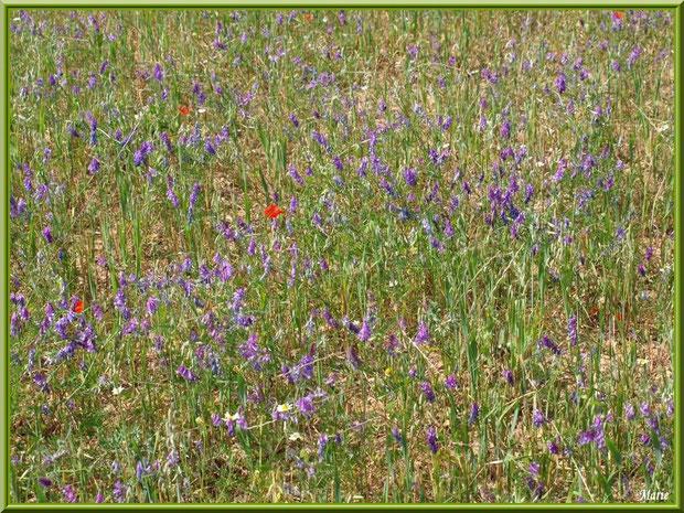 Champ fleuri dans la campagne autour du village d'Eygalières dans les Alpilles (Bouches du Rhône) : Vesces des Haies, Coquelicots & Cie