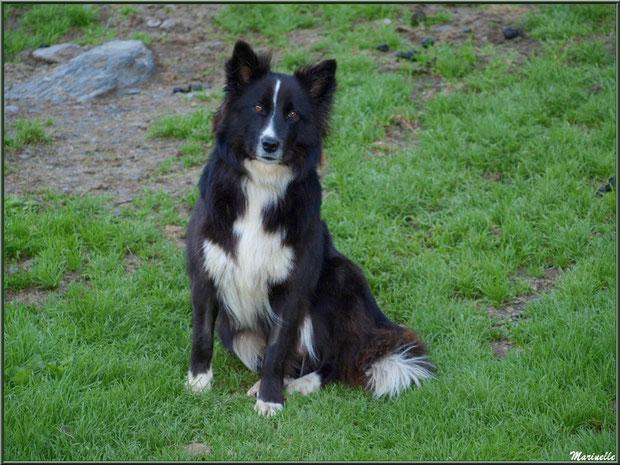 """""""Fauvette""""... Profession : chien de berger en montagne (Gourette - 64)"""