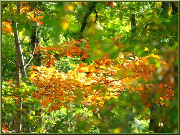 Chênes en période automnale, forêt sur le Bassin d'Arcachon (33)
