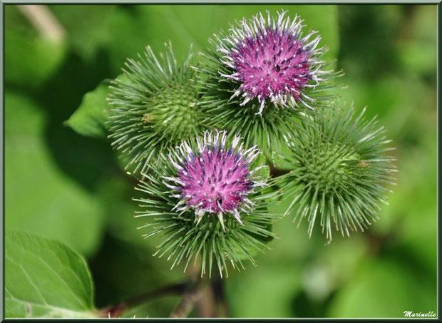 Bardane en fleur, flore sur le Bassin d'Arcachon (33)