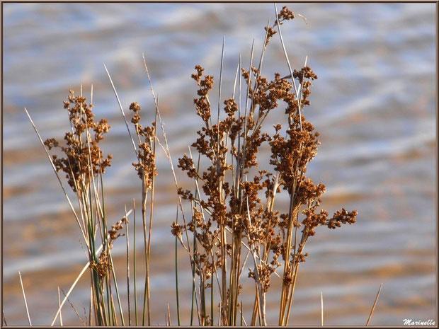 Herbacée hivernale en bordure d'un réservoir, Sentier du Littoral, secteur Domaine de Certes et Graveyron, Bassin d'Arcachon (33)