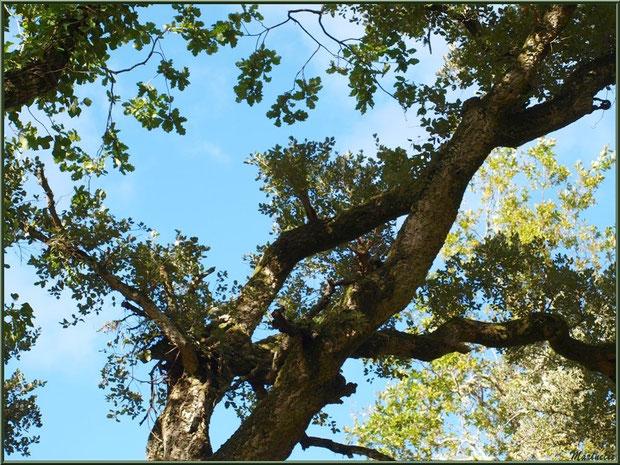Ramure de Chêne Liège en forêt de Malakoff (Le Teich), flore Bassin d'Arcachon (33)