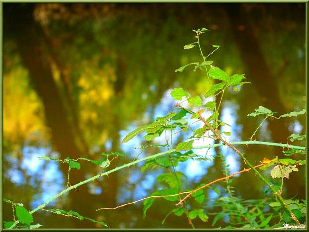 Roncier et reflets en bordure de La Leyre, Sentier du Littoral au lieu-dit Lamothe, Le Teich, Bassin d'Arcachon (33)