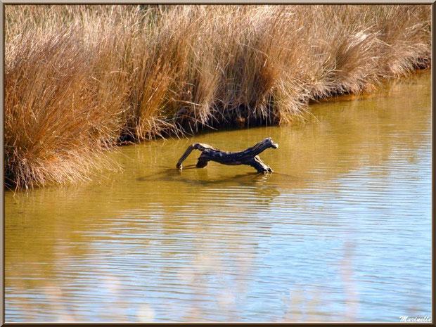 Bois tel un chien et reflets dans un réservoir Bois flotté sur le Sentier du Littoral, secteur Moulin de Cantarrane, Bassin d'Arcachon