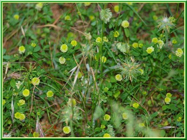 Trèfle en fleurs et herbacées en campagne à Saint Rémy de Provence, Alpilles (13)