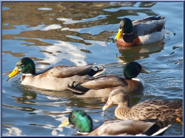 Canards dans le bassin à l'entrée du Parc de la Chêneraie à Gujan-Mestras (Bassin d'Arcachon)