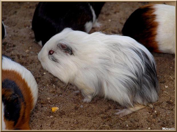 Cochons d'Inde ou Cobayes, Parc de la Coccinelle, mini-ferme à Gujan-Mestras, Bassin d'Arcachon (33)