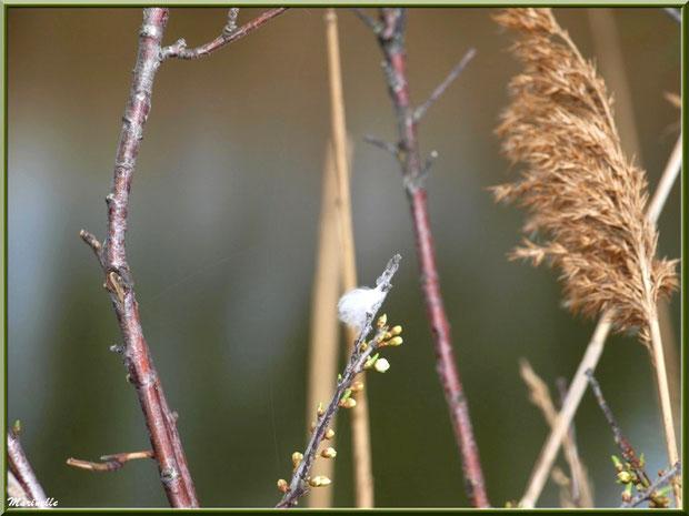 Petite plume duvet sur un arbrisseau aux premiers boutons de fleurs printanière et roseau, Sentier du Littoral, secteur Moulin de Cantarrane, Bassin d'Arcachon