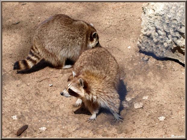 Ratons Laveurs, Zoo du Bassin d'Arcachon, La Teste de Buch (33)