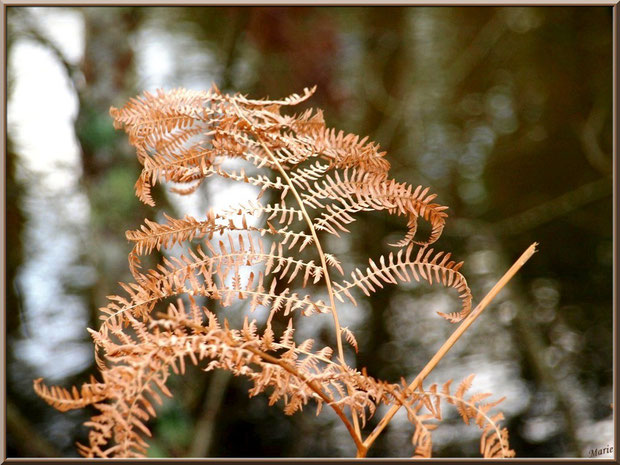Fougère hivernale en bordure du Canal des Landes au Parc de la Chêneraie à Gujan-Mestras (Bassin d'Arcachon)