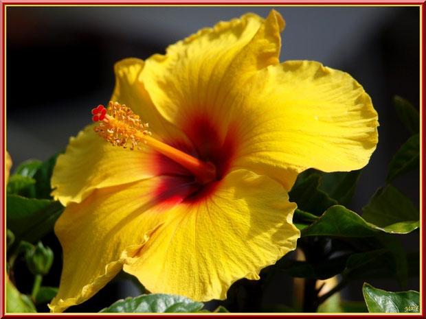 hibiscus jaune à coeur rouge