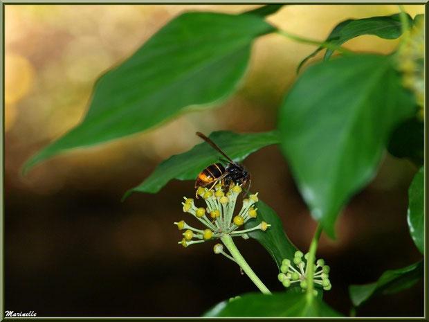 Ombrelle de fleurs de Lierre et abeille butineuse, flore Bassin d'Arcachon (33)
