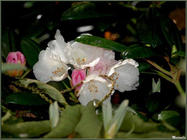 Le sentier de la Vallée du Bas : fleurs de Rhododendron 'Cunningham's White' (blanc et boutons mauves roses) - Les Jardins du Kerdalo à Trédarzec, Côtes d'Armor (22)