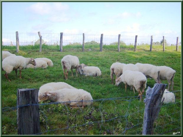 Troupeau de moutons à l'entée du village de Zugarramurdi, Pays Basque espagnol