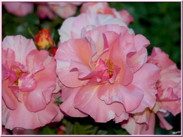 Roses saumonées à Saint Rémy de Provence, Alpilles (13)