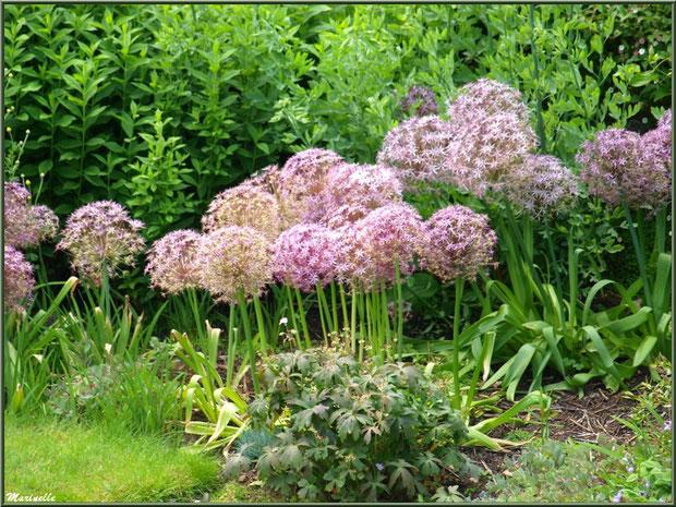 Allium sphaerocephalon dans les Quatres Carrés - Les Jardins du Kerdalo à Trédarzec, Côtes d'Armor (22)