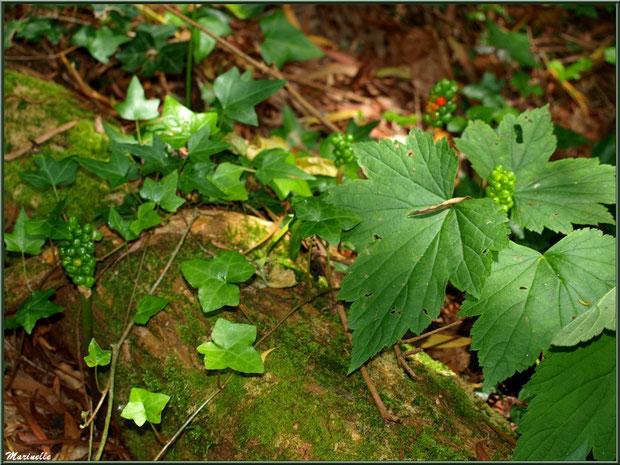 Le sentier de la Vallée du Bas avec des épis de graines de Lysichitum (Arum) - Les Jardins du Kerdalo à Trédarzec, Côtes d'Armor (22)