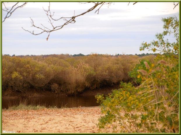 Entre plage, cotonniers et roseaux, coule La Leyre, Sentier du Littoral, secteur Port du Teich en longeant La Leyre, Le Teich, Bassin d'Arcachon (33)