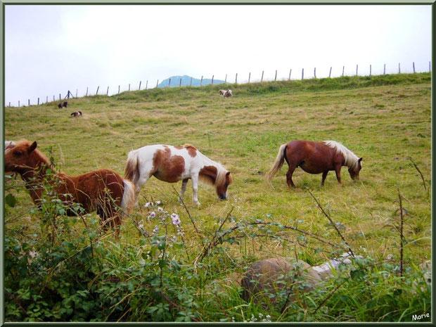 Pottok, petit cheval typique basque, dans un pré sur le territoire de Xareta (Pays Basque)