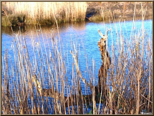 Roseaux et vieux tronc mort en bordure de La Leyre, Sentier du Littoral, secteur Port du Teich en longeant La Leyre, Le Teich, Bassin d'Arcachon (33)
