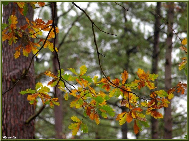 Branche de chêne automnal sur fond de pins, forêt sur le Bassin d'Arcachon (33)