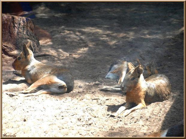 Maras ou Lièvres de Patagonie, Zoo du Bassin d'Arcachon, La Teste de Buch (33)
