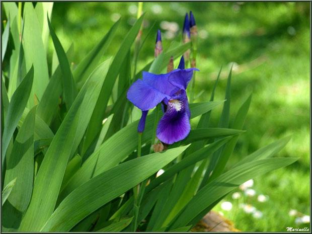 Iris en fleurs à la Pisciculture des Sources à Laruns, Vallée d'Ossau (64)