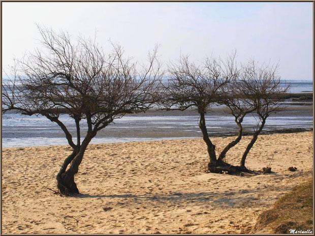 La plage avec le Bassin à marée basse et ses tamaris en tenue hivernale, Sentier du Littoral, secteur Domaine de Certes et Graveyron, Bassin d'Arcachon (33)