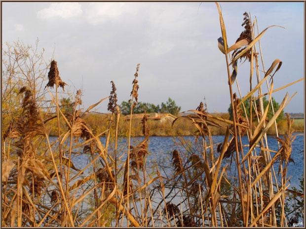 Roseaux et tamaris en bordure d'un réservoir sur le Sentier du Littoral, secteur Moulin de Cantarrane, Bassin d'Arcachon