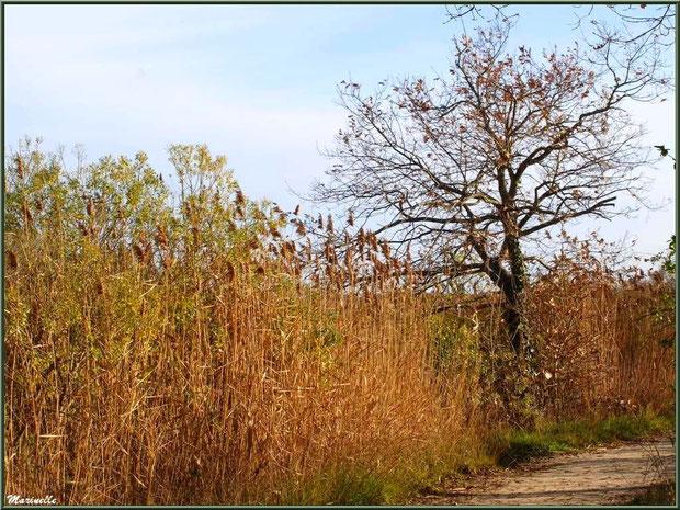 Roseaux, cotonniers, chênes et ronciers en bordure du Sentier du Littoral, secteur Port du Teich en longeant La Leyre, Le Teich, Bassin d'Arcachon (33)