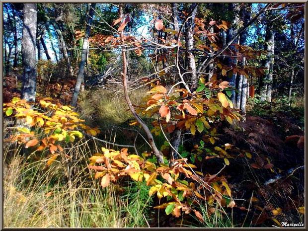 Marronnier automnal parmi les pins, forêt sur le Bassin d'Arcachon (33)