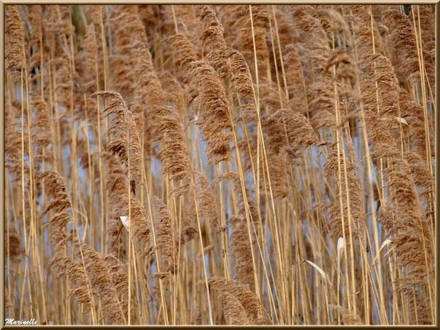 Roseaux au gré du vent en bordure de La Leyre, Sentier du Littoral, secteur Port du Teich en longeant La Leyre, Le Teich, Bassin d'Arcachon (33)