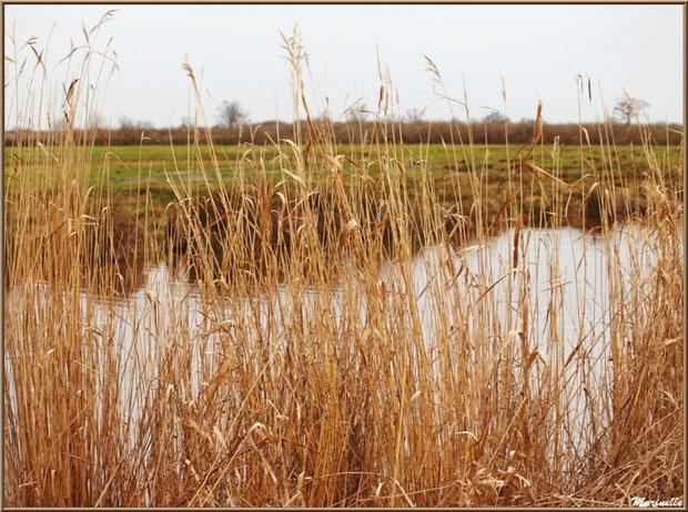 Roseaux en bordure d'un ruisseau longeant les pâturages des prés salés, Sentier du Littoral secteur Pont Neuf, Le Teich, Bassin d'Arcachon (33)