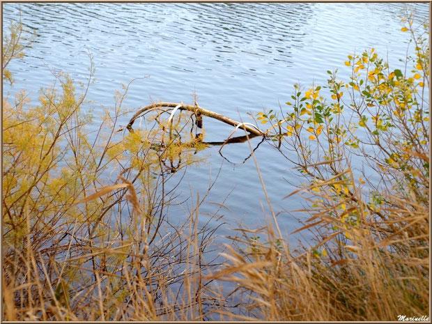 Tamaris, roseaux, cotonnier et branche morte de pin, en décembre en bordure d'un réservoir, Sentier du Littoral, secteur Moulin de Cantarrane, Bassin d'Arcachon