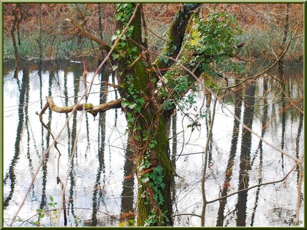 Chêne habillé de lierre et de mousse avec reflets sur le Canal des Landes au Parc de la Chêneraie à Gujan-Mestras (Bassin d'Arcachon)