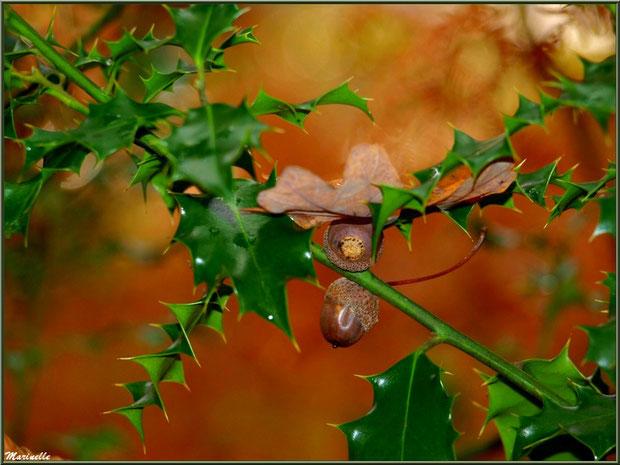 Feuille de chêne automnal et glands épinglés dans une branche de houx, forêt sur le Bassin d'Arcachon (33)