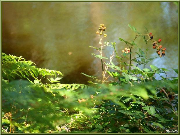 Fougères, roncier avec ses mûres et reflets sur le Canal des Landes au Parc de la Chêneraie à Gujan-Mestras (Bassin d'Arcachon)