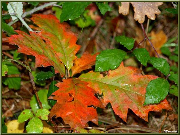Feuilles de chêne et roncier après ondée automnale, forêt sur le Bassin d'Arcachon (33)