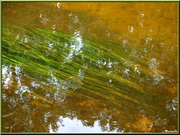 Herbes aquatiques et reflets en bordure de La Leyre, Sentier du Littoral au lieu-dit Lamothe, Le Teich, Bassin d'Arcachon (33)