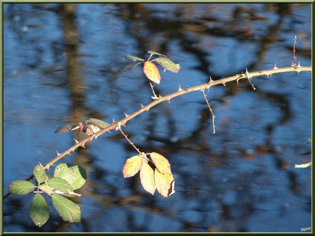 Roncier en bordure du Canal des Landes et reflets au Parc de la Chêneraie à Gujan-Mestras (Bassin d'Arcachon)