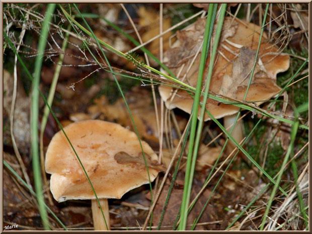 Lactaires Odorants cachés en forêt sur le Bassin d'Arcachon