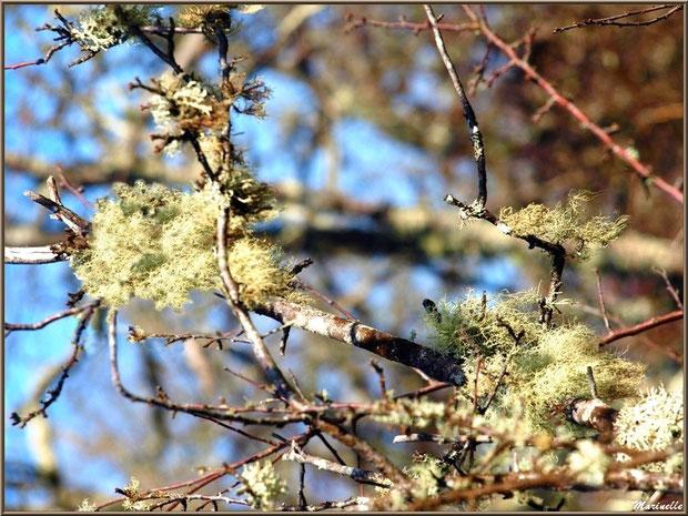 Mousse du Chêne sur branches d'un chêne, Sentier du Littoral, secteur Domaine de Certes et Graveyron, Bassin d'Arcachon (33)