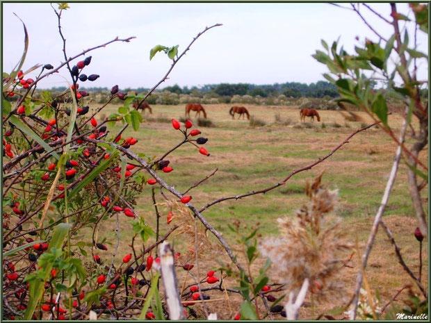 Cynorhodons de rosier sauvage, roseaux et cotonniers avec, en toile de fond, des chevaux en pâturage dans les prés salés, Sentier du Littoral secteur Pont Neuf, Le Teich, Bassin d'Arcachon (33)