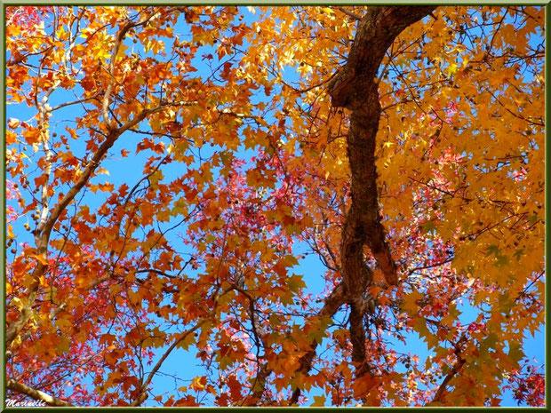 Liquidambar (ou Copalme d'Amérique) aux couleurs automnales, vu de dessous, forêt sur le Bassin d'Arcachon (33)