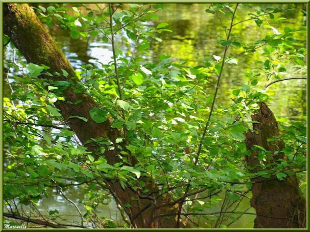 Troncs d'arbre, arbrisseaux et reflets en bordure de La Leyre, Sentier du Littoral au lieu-dit Lamothe, Le Teich, Bassin d'Arcachon (33)