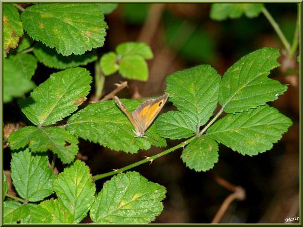 Papillon Myrtil sur roncier au Parc de la Chêneraie à Gujan-Mestras (Bassin d'Arcachon)