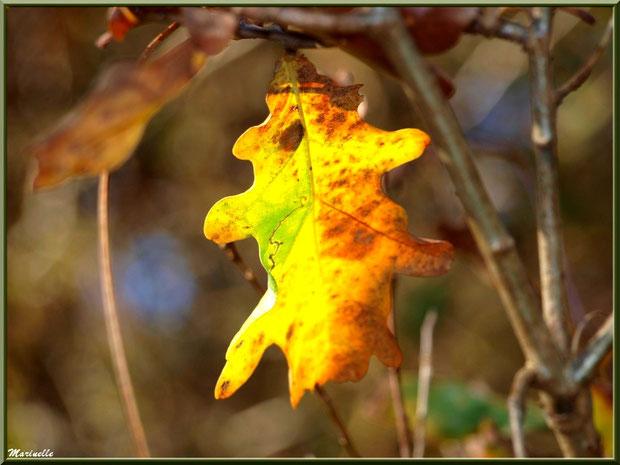 Feuille de Chêne au soleil en période automnale en forêt sur le Bassin d'Arcachon (33)