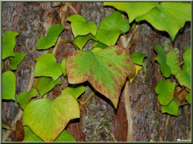Lierre automnal sur tronc de pin, forêt sur le Bassin d'Arcachon (33)