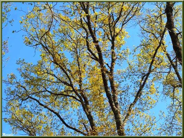 Chênes Pédonculés et ses feuilles en pousses printanières, flore Bassin d'Arcachon (33)